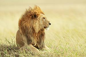 Картинки Лев Смотрят Трава животное