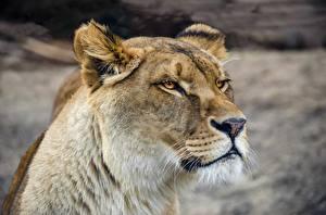 Фотография Львы Львица Смотрит Морда Животные