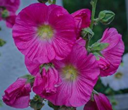 Картинка Мальва Крупным планом Розовый Цветы