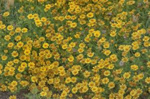 Фотография Много Желтый Thymophylla Цветы