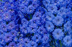 Картинки Маттиола Вблизи Голубой