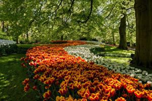 Обои Нидерланды Парки Тюльпаны Деревья Keukenhof