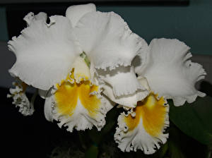 Картинка Орхидеи Вблизи Белый Цветы