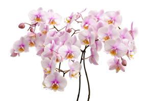 Картинка Орхидеи Вблизи Белый фон Цветы