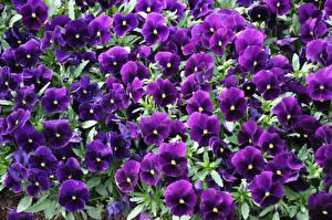 Фотографии Фиалка трёхцветная Много Фиолетовый Цветы