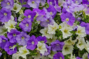 Картинка Петунья Вблизи Цветы
