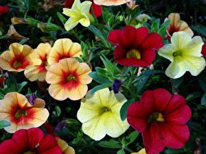 Обои Петунья Вблизи Разноцветные Цветы