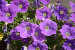 Фото Петунья Вблизи Фиолетовый Цветы