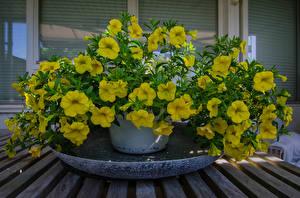 Фотография Петунья Желтый Цветы