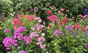 Фотографии Флоксы Разноцветные Цветы