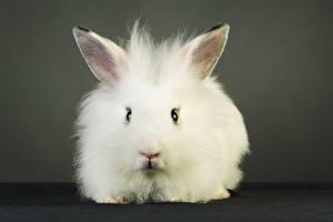 Картинки Кролики Белый Смотрит Спереди Животные