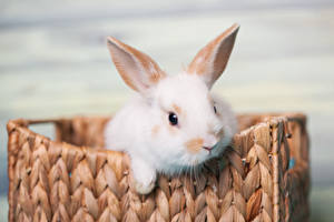 Фотография Кролики Белый Морда