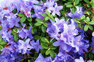 Фото Рододендрон Крупным планом Фиолетовый Цветы
