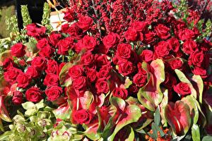 Картинки Розы Антуриум