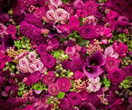 Фотографии Розы Белокрыльник Фиолетовый Цветы