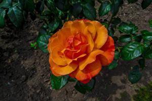 Картинки Розы Вблизи Оранжевый Цветы