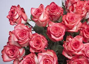 Фото Розы Крупным планом Розовая цветок