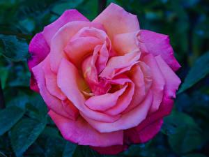 Картинки Роза Вблизи Розовый цветок