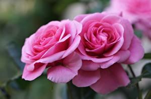 Фотографии Роза Крупным планом Двое Розовые Цветы