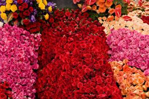 Картинки Розы Много Цветы