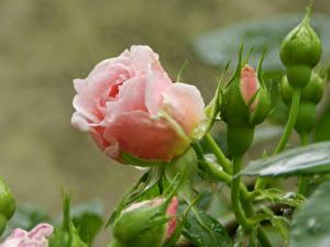 Картинки Розы Розовый Бутон Цветы