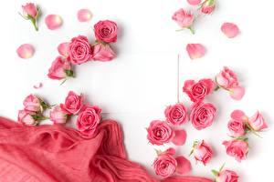 Картинки Розы Розовый Белый фон Шаблон поздравительной открытки Цветы