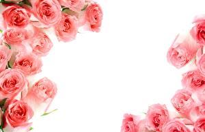Картинка Розы Белый фон Розовая Цветы