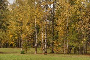 Обои Россия Санкт-Петербург Парки Осенние Деревья Березы Gatchina Palace park Природа