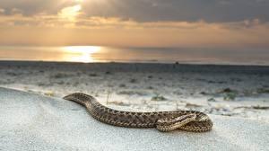 Фотографии Змея Песка