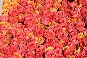 Обои Текстура Розы Розовый Цветы