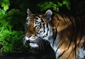 Фотография Тигры Смотрят Усы Вибриссы