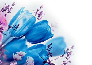 Картинка Тюльпаны Крупным планом Белый фон Голубой Ветвь Цветы