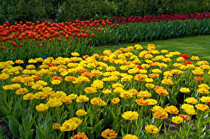 Картинки Тюльпаны Keukenhof Природа