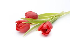 Картинка Тюльпаны Белый фон Трое 3 Красный Цветы