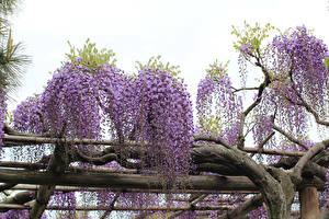 Фотография Вистерия Ветки Цветы