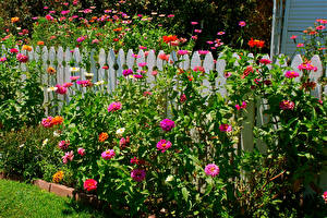 Обои Циннии Забор Цветы картинки