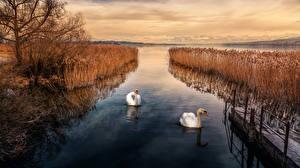 Обои Осенние Речка Пирсы Лебеди Кусты