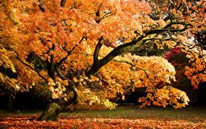 Фото Осень Великобритания Парки Деревья Листва Westonbirt Arboretum Природа