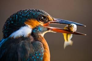 Картинка Птицы Обыкновенный зимородок Рыба Клюв Голова Животные