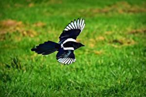 Фотография Птицы Летящий Трава magpie Животные