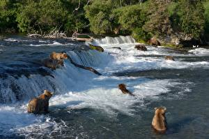 Фотография Медведи Гризли Реки Водопады Рыбалка Животные