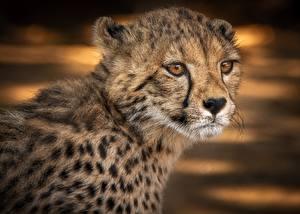 Фотография Гепарды Взгляд Морда Голова Животные