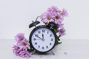Фото Хризантемы Часы Розовый Цветы
