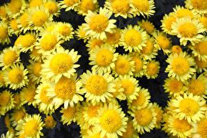 Картинка Хризантемы Вблизи Желтый