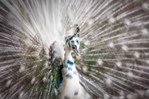 Фотография Крупным планом Птицы Павлины Голова Животные
