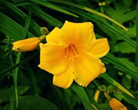 Картинки Вблизи Желтый Day-lily Цветы