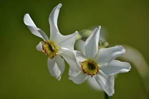 Картинка Нарциссы Крупным планом Белые 2 цветок