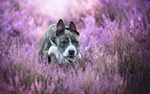 Картинки Собака Амстафф Язык (анатомия) Животные