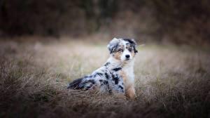 Картинки Собаки Аусси Трава животное
