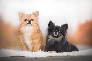 Обои для рабочего стола Собаки Чихуахуа Два Черных Рыжие животное
